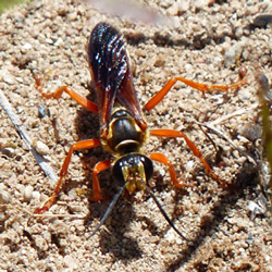 The Great Golden Digger Wasp - Photo  courtesy of Jennifer Howard