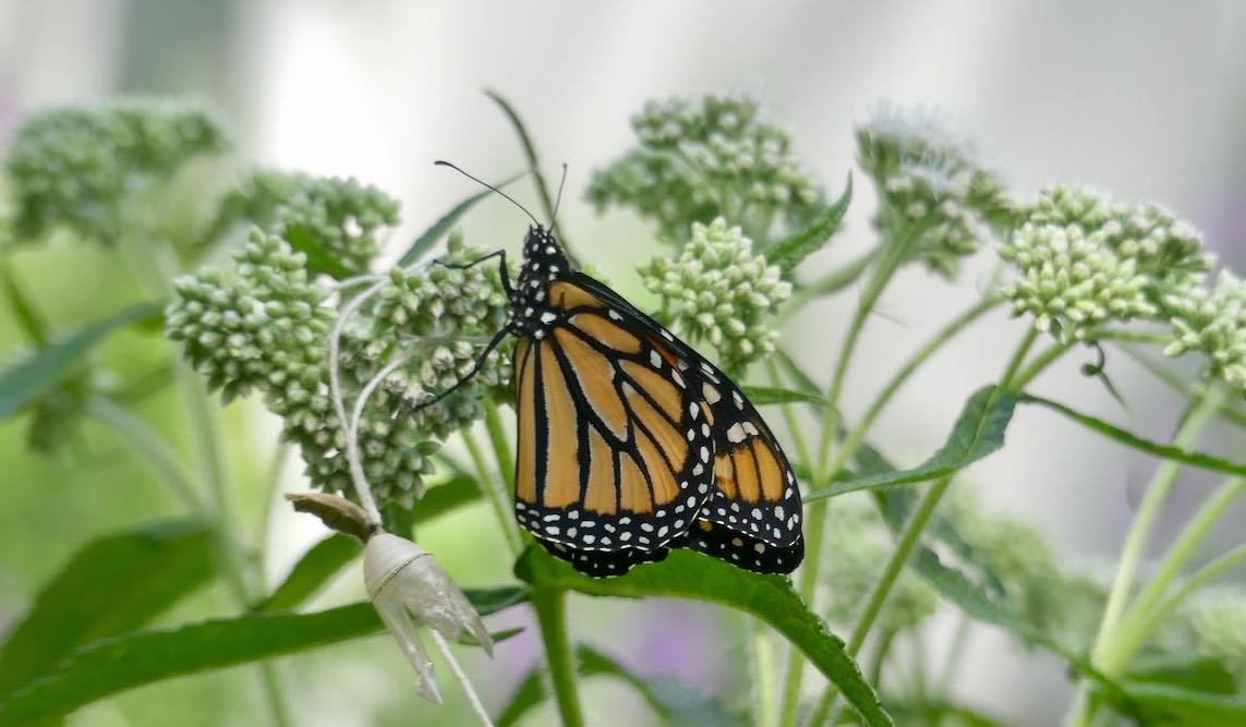 monarchs and and chrysalis